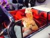 Cadillac Brautauto brautwagen vermietung Kutsche weiss Hochzeitsauto Köln